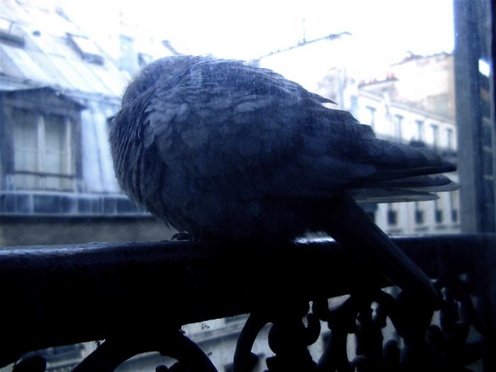pigeon d'hiver / winter pigeon