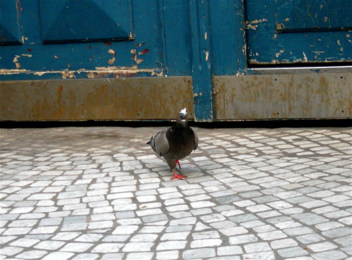 pigeon coiffé / pigeon with a haircut