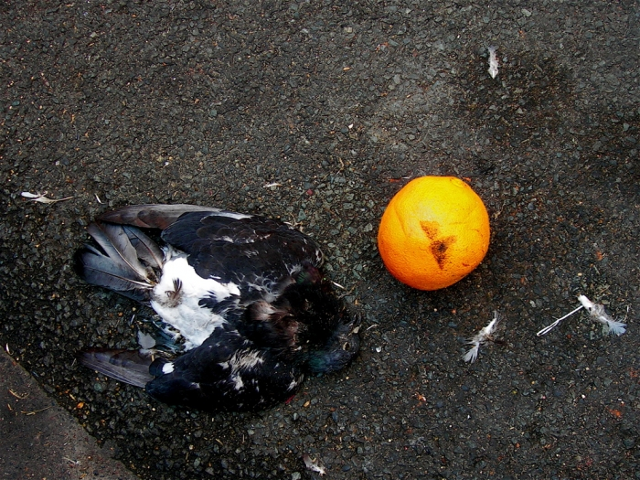 pigeon et orange / pigeon and orange