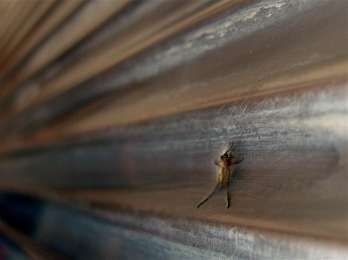 moustique / mosquito
