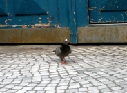 pigeon coiff� / pigeon with a haircut